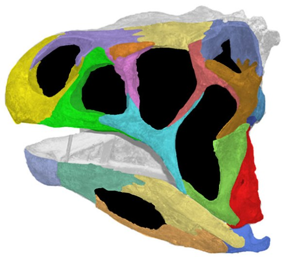 The skull of Lotosaurus color coded.