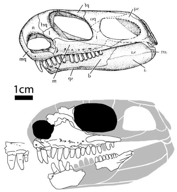 Casea (above) and Oromycter (below) reconstructed and restored.