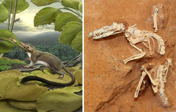 Figure 1. Left: A hypothetical placental ancestor enjoying the insects of the Palaeocene. Right: Ukhaatherium, Late Cretaceous Mongolian mammal.