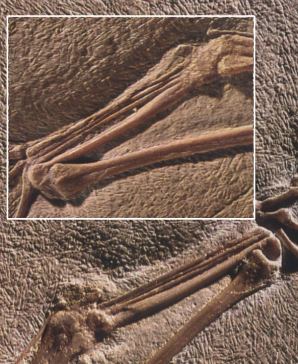 Metacarpi of n21. Can you see the vestiges of digit 5 on these images? If not, see figure 3.