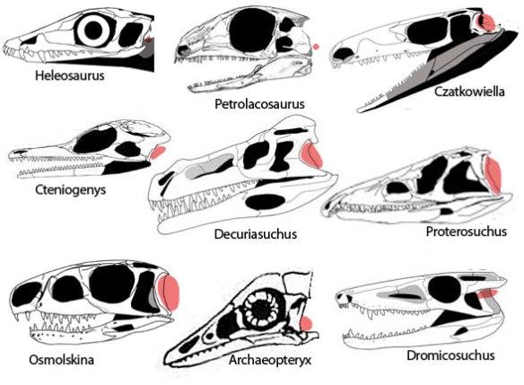 Reptile eardrums - diapsids, crocs and birds.
