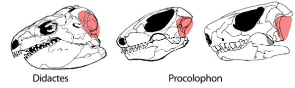 Reptile eardrums in Diadectes and Procolophon
