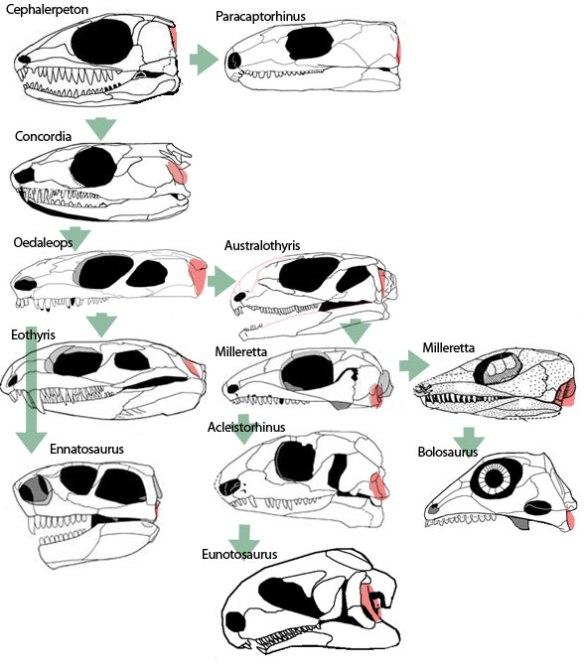 Reptile eardrums. Basal lepidosauromorphs in phylogenetic order.