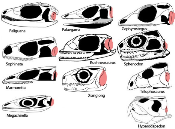 Figure 5. Reptile eardrums among basal Lepidosauriformes