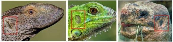 Reptile ears, living representatives