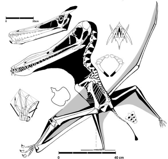 Anhanguera and Ludodactylus (skull), two short metacarpal pterosaurs with teeth.