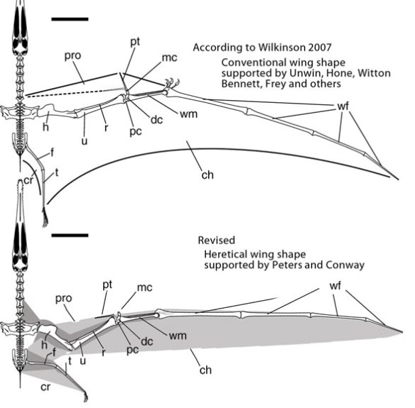 Conventional wing shape in pterosaurs supported by Unwin, Elgin, Hone, Bennett, Wilkinson, Frey and others vs heretical wing shape supported by Peters and Conway.