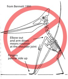 Bad Pteranodon reconstruction from Bennett 1991, 2000 in which the fingers faced palmar side up and the elbow bent at an impossible angle with regard to the shoulder joint.