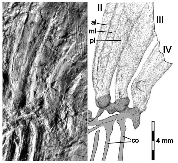 From Buchwitz and Voigt (2012) purported to be the bases of three dorsal appendages. Actually these are metatarsals.