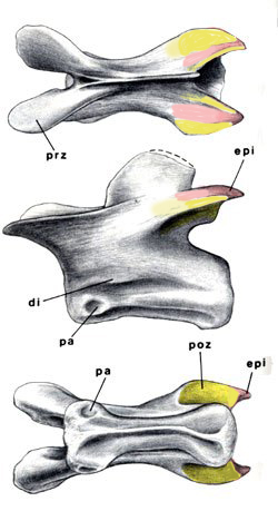Figure 1. Herrerasaurus epipophyses (epi, in pink) on a cervical in three views. Postzygopophyses (poz, bone articulations) in yellow.