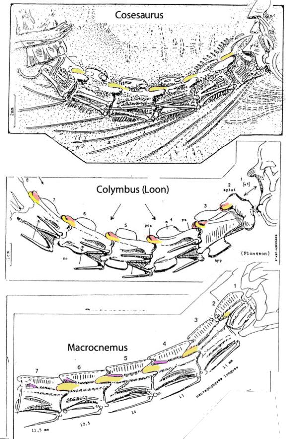 Epipophyses on Columbyua, the common loon and on Macrocnemus, but not Cosesaurus.