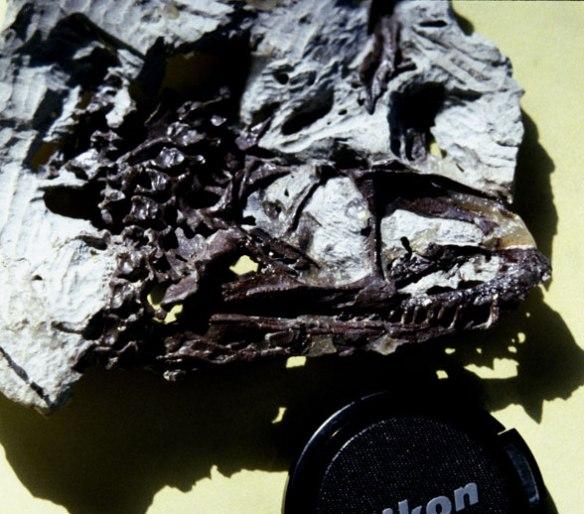 Another Gracilisuchus,
