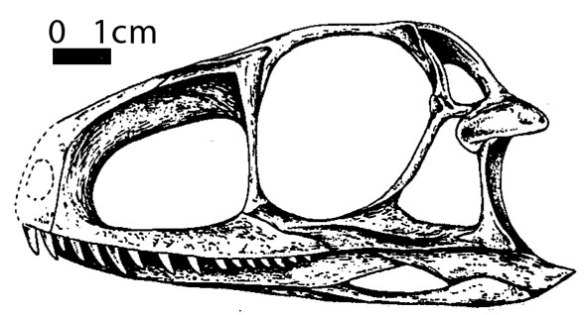 The second Gracilisuchus described (Brinkman 1981) with a more juvenile looking skull despite sharing a similar size with the holotype (fig. 2).