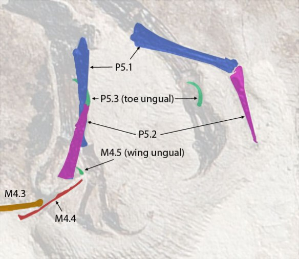 Figure 4. M4.4, m4.5 (wing unugual) and pedal digit 5 unguals identified by color on Jeholopterus.