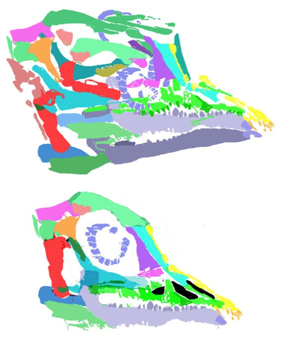 Figure 2. The skull of the new Langobardisaurus in situ, above, and reconstructed below, using the DGS technique. If there was no antorbital fenestra the rostrum was at least very weak. The left maxilla  itself was broken into several pieces. The skull looks like the other Langobardisaurus skulls, so is likely conspecific.