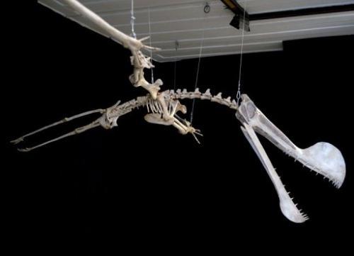Restoration of the world's largest southern hemisphere pterosaur, Tropeognathus