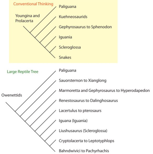 Figure 1. Conventional thinking on the family tree of lizards (above). According to the large reptile tree (below).  Conventional thinking includes Prolacerta and Youngina, which are not related to lizards or their kin, but nest on the second branch of the Reptilia, the new archosauromorpha.
