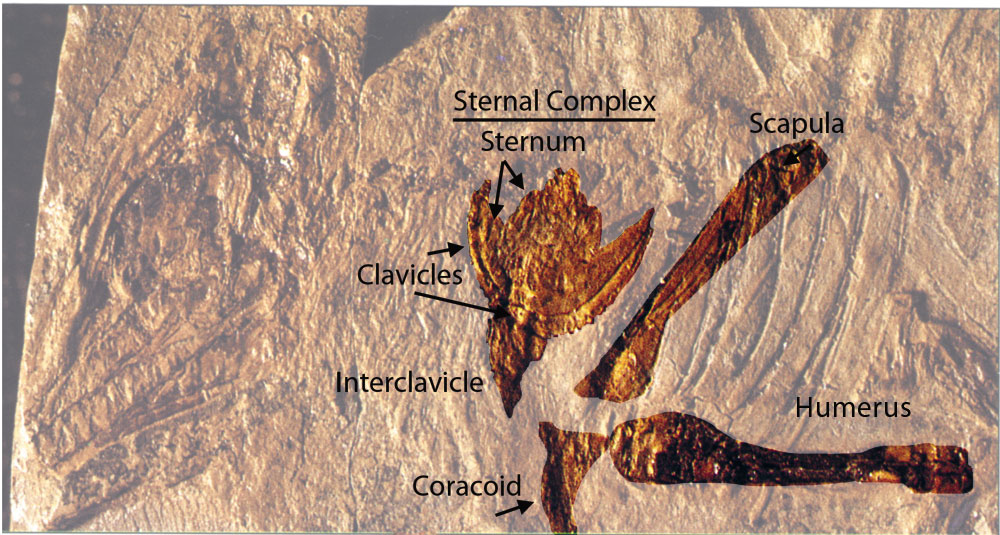 Figure 2. Click to enlarge. Longisquama ghosted out with DGS, other than the sternal complex (interclavicle+clavicles + sternum), scapula and coracoid.