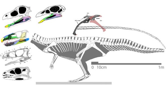 Poposaurus (in gray) together with the new skull, the new pelvis and the skulls of sister taxa.