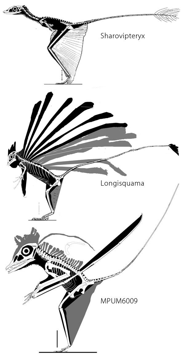 Figure 2. Origin of pterosaurs and figuring out the back half of Longisquama through phylogenetic bracketing. Gray areas are in question because others have not yet seen them on the slab.