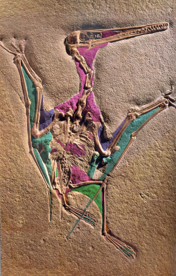 Soft tissue on Pterodactylus n21. Note the small patches anterior to the ankles, otherwise seen on Sharovipteryx. Patches of muscle or skin are present on the ribs. The high matrix in front and behind the elbow goes unexplained.