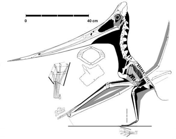 The Triebold Pteranodon, one of the most complete ever found.  The metacarpals are quite a bit longer here. So is the beak.