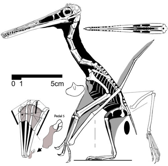 Pterodactylus scolopaciceps.