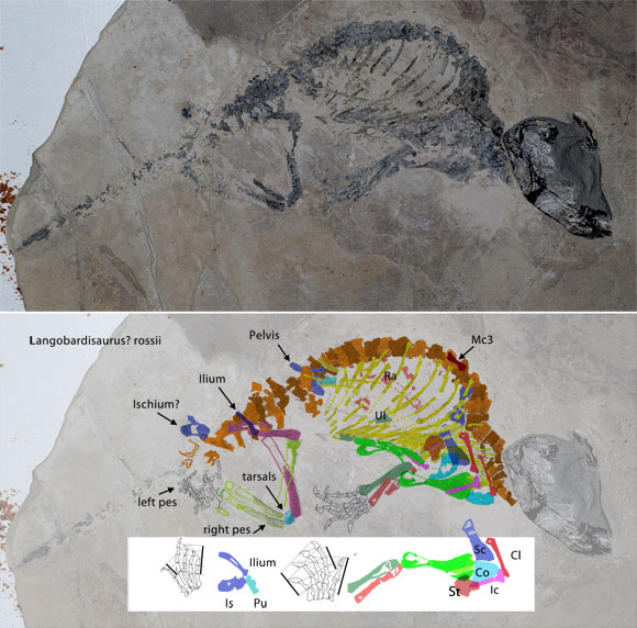 Figure 1. Click to enlarge. Better resolution image of Renestosaurus (above). Color tracings of elements (below). Recontructed pes, manus, pelvis and pectoral girdle (on white).