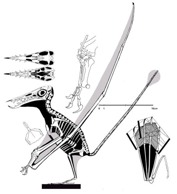 The darkwing specimen of Rhamphorhynchus muensteri demonstrating more accurate proportions.