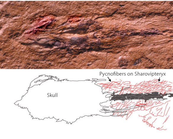 Figure 1. Click to enlarge. Pycnofibers (extradermal tissues) on Sharovipteryx. Formerly such hair-like extradermal membranes were recognized only in pterosaurs. Now they are in found in more basal fenestrasaurs. Surely these were no ordinary lizards! Warm-blooded? You decide. On the right the fibers are more easily seen. On the left (bottom) these are less distinct.