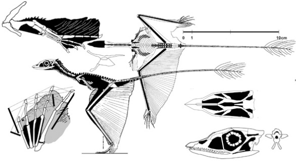 Figure 2. Sharovipteryx mirabilis in various views. No pycnofibers added yet. Click to learn more.