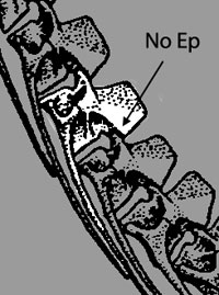 Silesaurus cervicals. Note the lack of epipophyses.