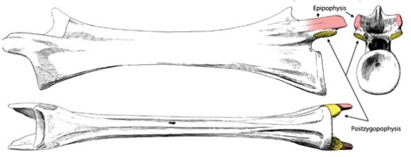 Epipophyses on Tanystropheus, a relative to Cosesaurus and pterosaurs.