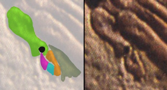 Pedal digit 5 in Pterodactylus n21. The entire digit is present, only vestigial. Pedal 5.1 is partly covered my dermal membrane here. The green bone is mt5 with a hollow opening distally. Amber is p5.1. Blue is p5.2. Magenta is p5.3, the ungual.