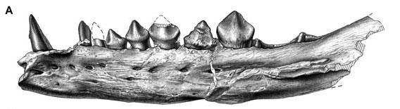 Original caption: Sereno PC (2012) Taxonomy, morphology, masticatory function and phylogeny of heterodontosaurid dinosaurs. ZooKeys 226: 1–225. Fig. 9B.