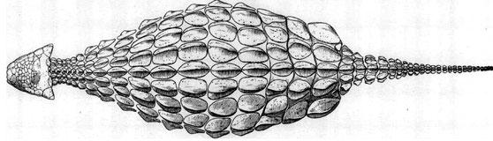 Ankylosaurus, dorsal view