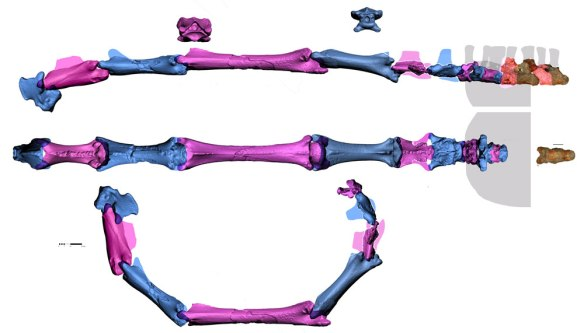 Restored Azhdarcho cervicals in several views. The amount of dorsiflexion appears to be greater that in prior reconstructions.