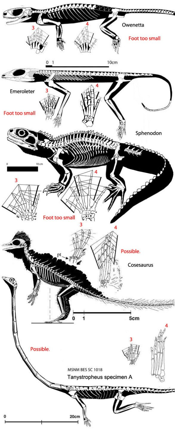 Figure 2. Click to enlarge. Among the few taxa that have a longer manual digit 3 than 4 AND a longer pedal digit 4 than 3 include Owenetta, Emeroleter, Sphenodon, Cosesaurus and Tanystropheus.