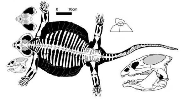 Cyamodus, a sharp-snouted shelled placodont.