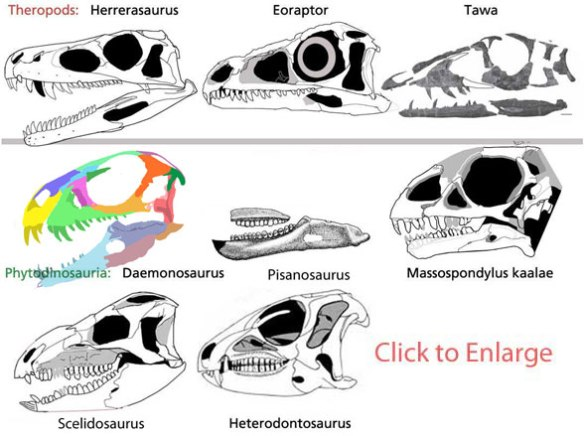 Figure 1. Daemonosaurus and kin. Derived from a sister to the basal theropod, Herrerasaurus, Daemonosaurus, Pisanosaurus and Massospondylus are close sister taxa (within 1 step of each other). Daemonosaurus now nests at the base of the Ornithischia. Scelidosaurus and Heterodontosaurus are its closest sisters within that clade. BTW, I'm curious about Scelidosaurus. A tracing of a photograph produced a mandible with a convex ventral margin of the mandible, but old drawings do not. Which is valid?