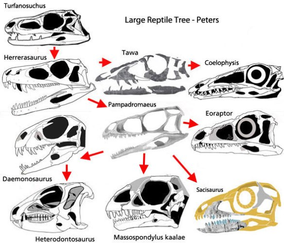 Figure 2. Dinosaur relations as recovered from the large reptile tree. Here short-faced plant-eaters, like Massospondylus and Heterodontosaurus, are derived from meat-eaters, like Herrerasaurus via Daemonosaurus. Eoraptor has been difficult to classify, perhaps because it is a key taxon at the base of the phytodinosauria, along with Pampadromaeus.