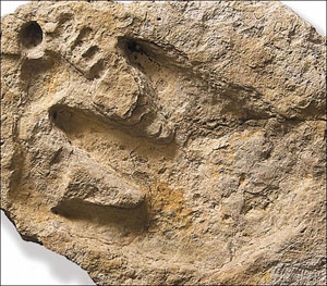 Dinosaur man footprint. Note the layers in the dinoprint which means it was carved out rather than compressed, ignoring the lack of pad impressions and the poor morphology knowledge of the sculptor. Embracing falsehoods like this have no place in a religious institution.