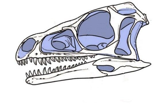 Figure 1. Eoraptor skull from Sereno et al. 1993.