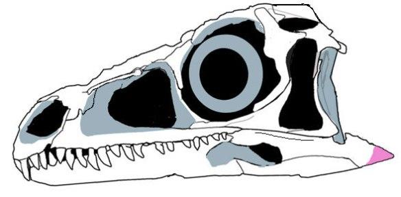 Figure 2. Eoraptor skull, traced from Digimorph image.