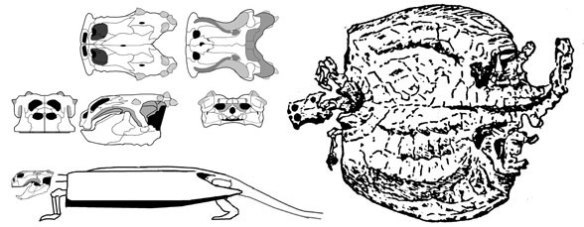 Henodus, a broad-snout shelled placodont