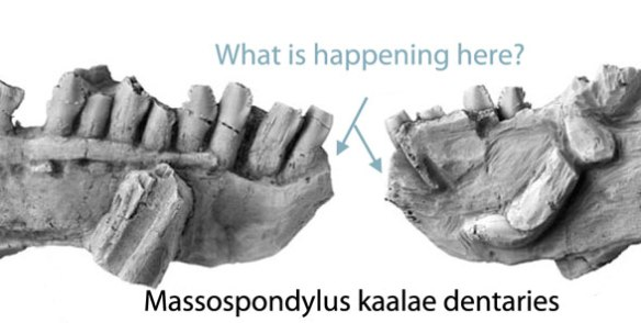 Massospondylus dentaries with a place for a missing predentary. Did this jaw have and lose the predentary? Phylogenetic bracketing says yes.