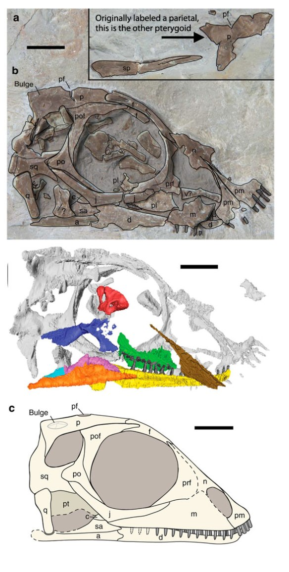 Figure 1. Palatodonta in situ. Only the skull has been published. This is a basal placodont and perhaps a juvenile. Above, in situ fossil. Middle a CT scan to reveal hidden elements. Below, reconstruction by Neenan et al. (2013). Scale bar = 3mm. See new reconstruction below (Fig. 3).