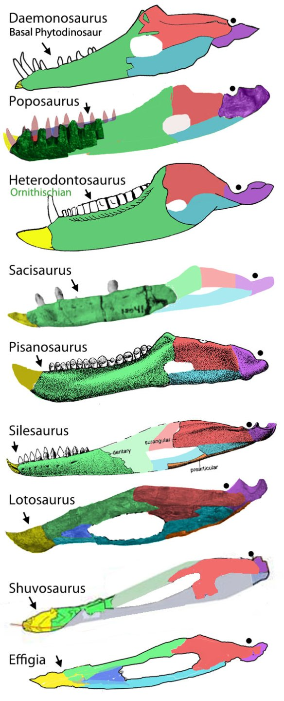 Figure 1. Poposaur (and kin) mandibles. Here are Daemonosaurus, Poposaurus, Pisanosaurus, Heterodontosaurus, Sacisaurus, Lotosaurus, Effigia and Shuvosaurus. The mandibles of Lotosaurus and Effigia appear to share a common heritage of design.  In Effigia the splenial reduces the mandibular fenestra helping to clarify the identify of the dentary and premaxilla (or beak).
