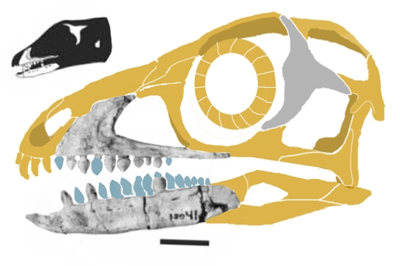 Figure 1. The skull of Sacisaurus reconstructed and restored. Small black image from Ferigolo and Langer 2006.