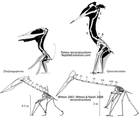 Click to enlarge. Averinov re-published images of Zhejiangopterus and Quetzalcoatlus from Witton 2007 and Wittion & Naish 2008 that demonstrate a certain devil-may-care attitude toward the anatomy, especially in Quetzalcoatlus. There was little regard for the the shape of the pelvis in both images and little regard for the lengths of the cervical elements and robust pectoral girdle in Q. My images, on the other hand, were traced from photos taken during a visit to Texas several years ago.